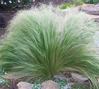 Pony Tails Grass Picture