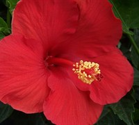 Red Tropical Hibiscus Picture