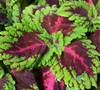 Red Kong Coleus