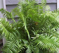Macho Fern Picture