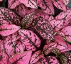 Pink Splash Hypoestes