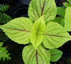 Gay's Delight Sun Coleus