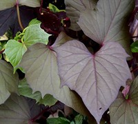 Bewitched Sweet Potato Vine Picture