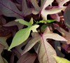 Sweet Caroline Bronze Sweet Potato Vine