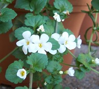 Bacopa Plant Picture
