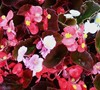 Cocktail Mix Wax Begonia