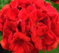 Orange Zonal Geranium Picture