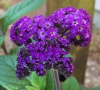 Fragrant Delight Heliotrope Picture