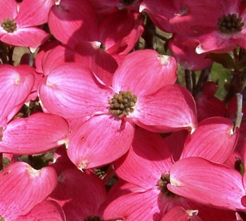 Picture of Cherokee Chief Red Dogwood