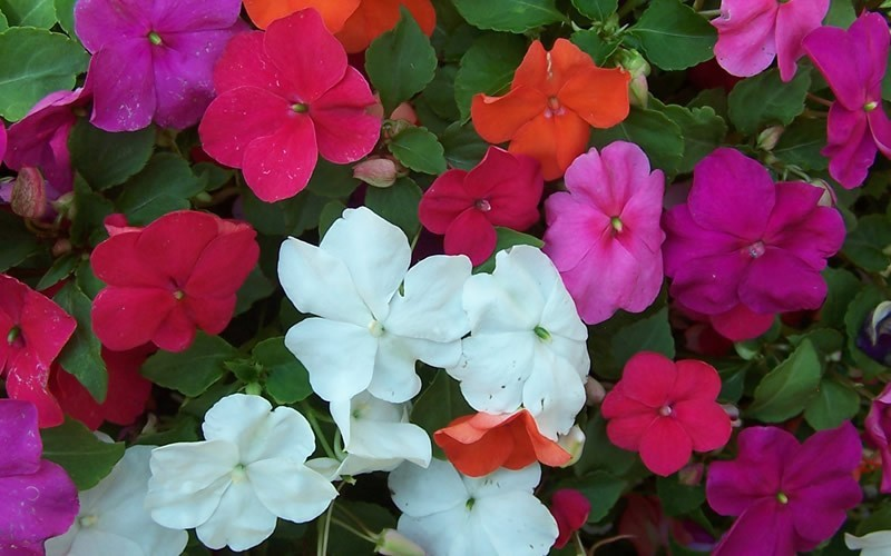 Super Elfin Mix Impatiens Picture
