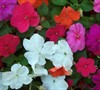 Super Elfin Mix Impatiens