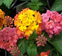 Bandana Cherry Sunrise Lantana Picture