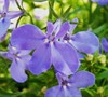 Annual Lobelia