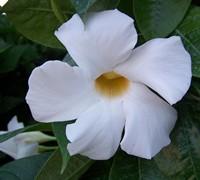 Sun Parasol White Mandevilla Picture