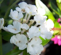 Trailing White Lantana Picture
