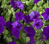 Wave Petunia (Series) Picture