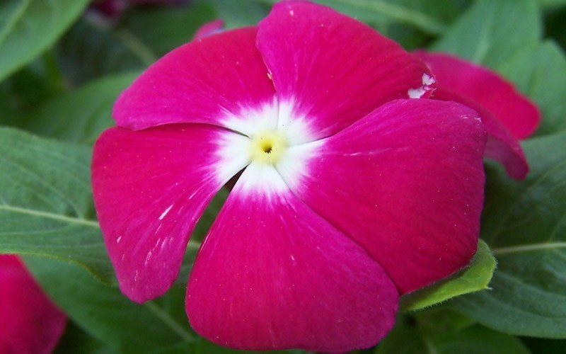 Pacifica Mix Vinca Picture