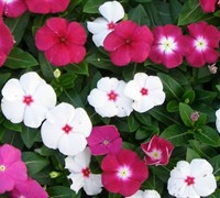 Pacifica Mix Vinca Picture