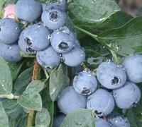 Rabbiteye Blueberry Picture