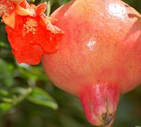 Wonderful Pomegranate Picture