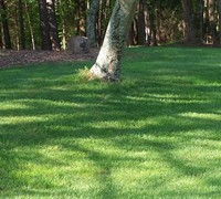 Turf Type Tall Fescue Picture