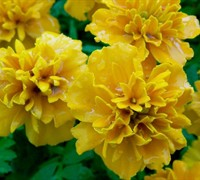 Marigolds - French Picture