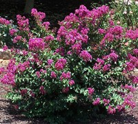 Velmas Royal Delight Crape Myrtle Picture