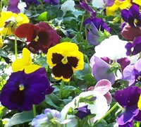 Majestic Giant Mix Pansy Picture