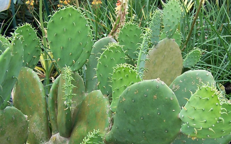Prickly pear cactus images - Advantages of cactus plant ...