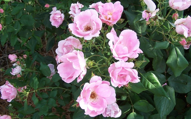 Blushing Knock Out Rose Picture - Gardenality