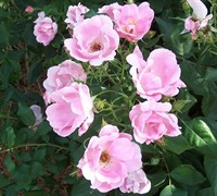 Blushing Knock Out Rose Picture