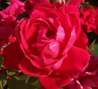 Double Red Knock Out Rose Picture