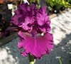 Gypsy Romance Bearded Iris