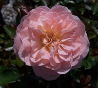 Apricot Drift Rose Picture