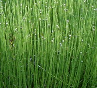 Dwarf Horsetail Picture