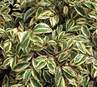 Variegated Cleyera Picture
