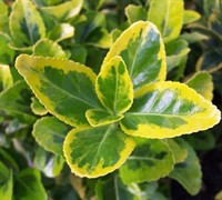 Golden Euonymus Picture
