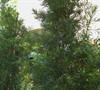 Maki Japanese Yew