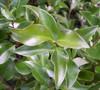 Wavy Leaf Ligustrum