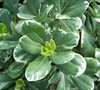 Variegated Pittosporum Picture