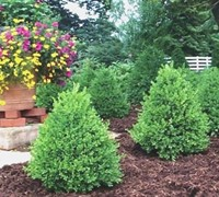Green Mountain Boxwood Picture