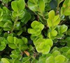 Wintergreen Boxwood Picture