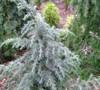 Electra Blue Deodara Cedar