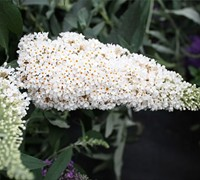 Buzz Ivory Dwarf Butterfly Bush Picture