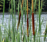 Cattail Picture