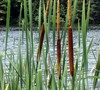 Cattail
