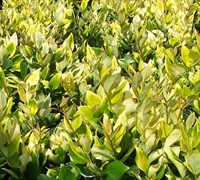 Golden Ligustrum Picture