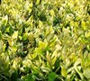 Golden Ligustrum