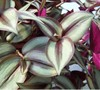 Purple Wandering Jew