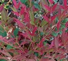 Obsession Nandina Picture